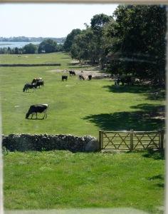 Dora's cows (2)
